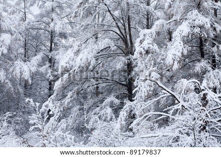 Winter landscape of a snow flocked tamarack forest, Michigan, USA