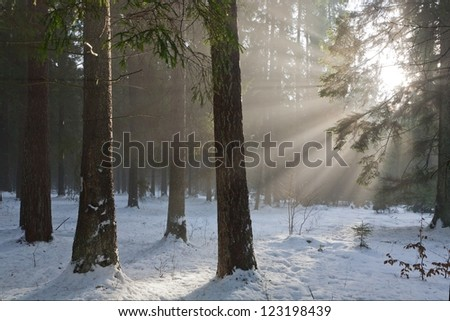 Winter landscape of coniferous stand with sunbeams entering misty forest