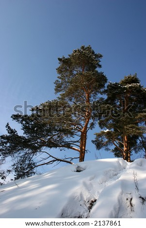 Winter landscape. Pine on a slope