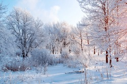Winter landscape, snowy winter trees in the forest at the sunrise. Winter tranquil landscape of forest nature covered with white frost and snow