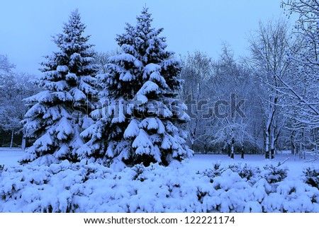 Winter landscape, spruce in a snowy park. Blue tones.