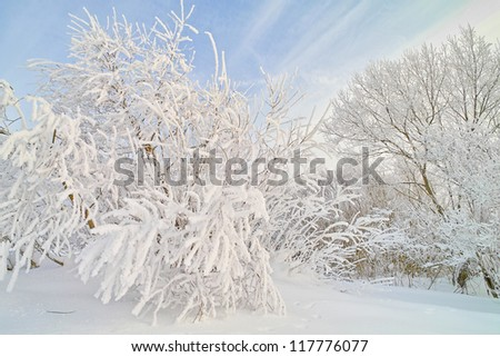 Winter landscape. Winter wood covered with ice. Russian winter