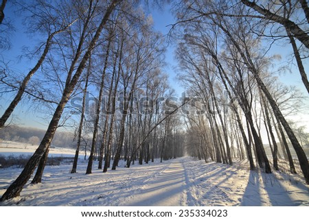 Winter landscape with birchwood alley on sunny day at cold weather.