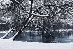 Winter landscape with slant trees and lake; nature background.