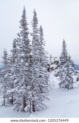 Winter landscape with tree and snow. Snow-covered trees on slopes of mountain.  Winter forest in Siberia.