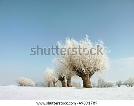 Winter landscape with white willows covered with frost near the village.