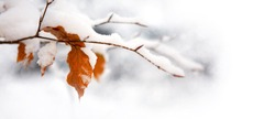Winter leaves close-up with the snow isolated.