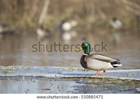 winter mallard duck