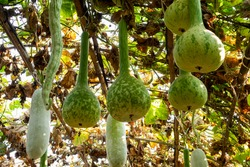 Winter melon,Snake gourd, Ash gourd plant in garden of agricultural plantation farm at countryside, Thailand.