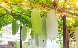 Winter melon, White gourd, Ash gourd hanging on bamboo. in the backyard The concept of organic vegetables, Scientific name Benincasa hispida.