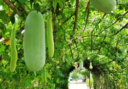 Winter melon (White gourd, Winter gourd, Ash gourd, Benincasa hispida) are planting on Bamboo arbor look like vegetable tunnel. Crops are ready for harvest.