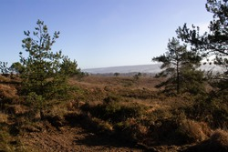 winter moorland in Devon, UK with bracken and pine trees and a clear blue winter sky in the background