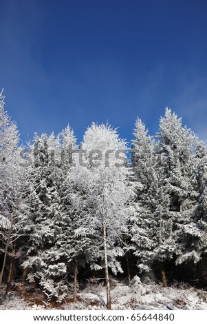Winter morning in the forest. Snow-covered tree branches against the blue sky