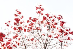 Winter nature background. Branches with red berries in frost. Christmas or new year concept. Season greetings and holidays celebration. Rowan tree covered with snow.