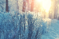winter nature background. snowy branches, beautiful winter forest landscape. sunny frosty weather. cold winter season.
