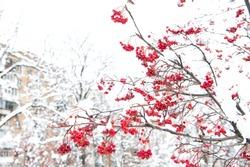 Winter nature concept. Frozen food. Seasonal berries. Christmas rowan berry branch. Hawthorn berries bunch. Rowanberry in snow. Berries of red ash in snow. Winter background. Frosted red berries.