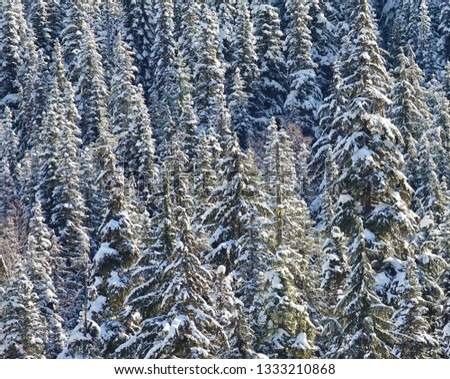 Winter nature extreme closeup heavy snow on branches of evergreen trees isolated in Mount Baker Snoqualmie National Forest after record snowfall in WA Cascade Mountains. #1333210868
