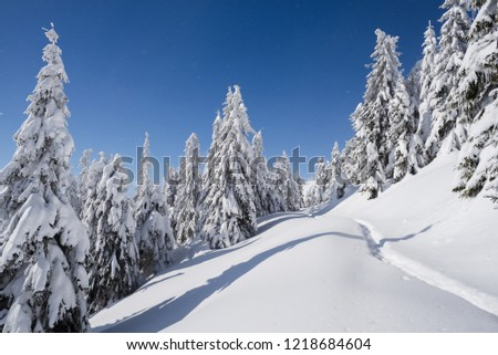 Winter nature. Landscape with spruce forest and footpath in the snow. Sunny frosty weather with clear blue sky