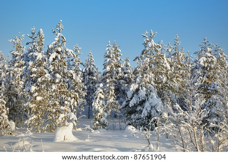 Winter, northern, snow-covered forests - landscape