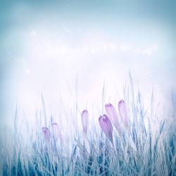 Winter or spring nature background with frozen grass and crocus flowers. Spring floral background