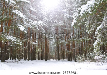 winter pine forest in the snow