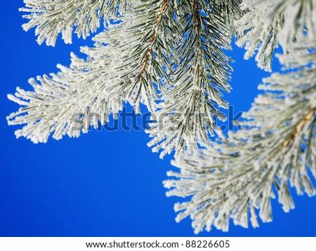 Winter pine on blue sky