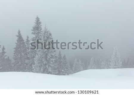 winter pine tree forest in a mist
