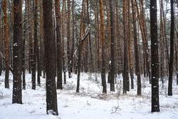 Winter pine tree forest in snow. Forest landsacape background.