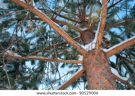 Winter pine tree viewed from the ground