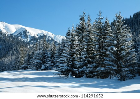 Winter pine trees and new snow