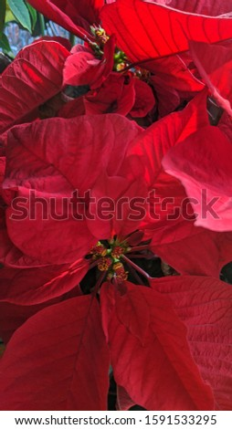 Winter Poinsettias Are In Bloom