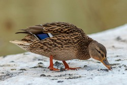 Winter portrait of a female mallard duck standing in the snow. Duck searching for food. Kadriorg park in Tallinn, Estonia.