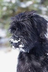 Winter portrait of a puppy Giant Schnauzer Black Dog with snow on his beard. Focused on the eye of the dog.