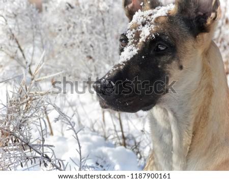 Winter portrait of the Belgian Shepherd Dog Malinois #1187900161