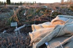 Winter protection of garden roses with spruce branches, reeds, jute bags.