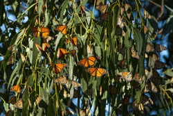 Winter Quarters - Monarch butterflies begin to gather to stay warm for the winter. Monarch Butterfly Grove, Pismo State Beach, California, USA
