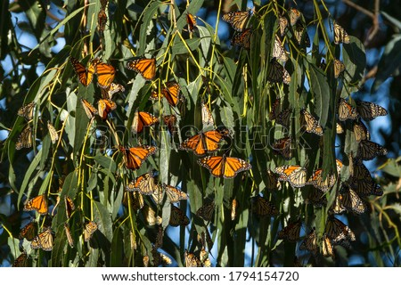 Winter Quarters - Monarch butterflies begin to gather to stay warm for the winter. Monarch Butterfly Grove, Pismo State Beach, California, USA Zdjęcia stock ©