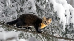 Winter sable foraging in the forest