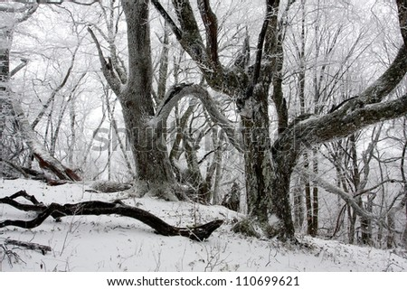 winter scene in old forest
