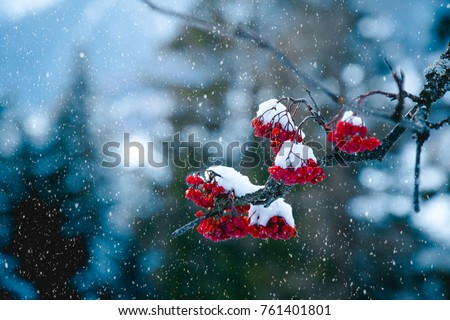 Winter scene of Red Rowan berries or Mountain Ash berries covered with snow. Close up. #761401801