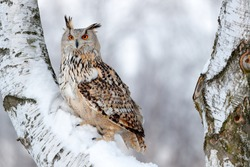 Winter scene with Big Eastern Siberian Eagle Owl, Bubo bubo sibiricus, sitting in the birch tree with snow in the forest.