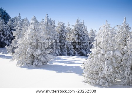 Winter Series 5 - Firs covered with snow