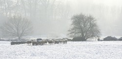 Winter sheep stood in snow around a bale hay feeder on a very cold misty midwinter morning with trees in the mist to the background.