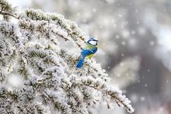 Winter, snow, and cute little bird. White winter and nature background. Bird: Eurasian Blue Tit. Cyanistes caeruleus.