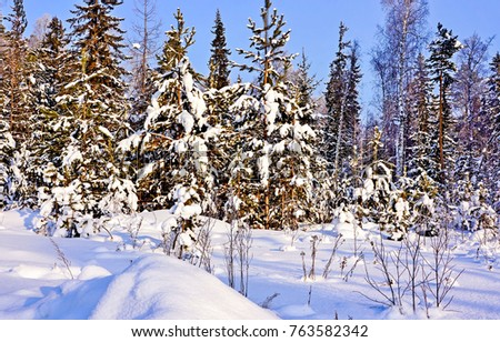 Winter snow covered fir trees in forest landscape #763582342