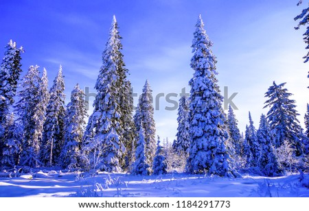 Winter snow covered fir trees in winter forest landscape. Snow covered fir trees in winter forest. Winter fir tree forest snow scene. Winter forest fir trees background