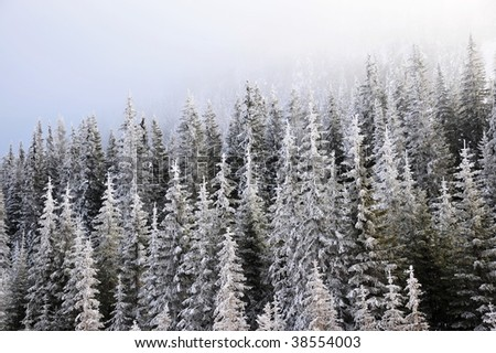 Winter snow covered pine forests in canadian rockies