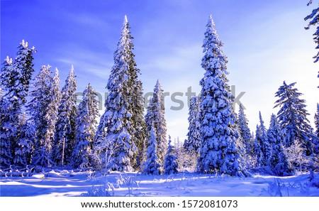 Winter snow fir forest landscape. Winter snow scene. Winter snow forest view. Winter snow covered fir trees