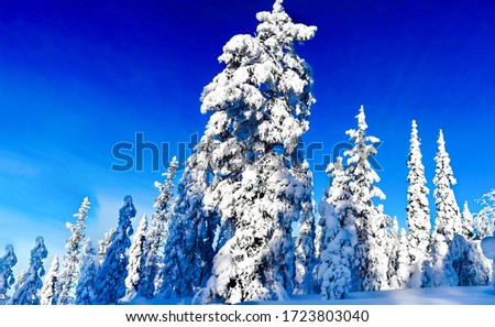 Winter snow fir tree view. Winter snow forest landscape