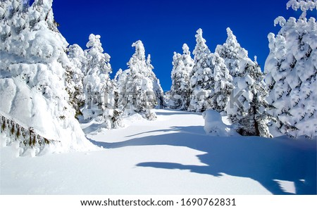 Winter snow fir trees forest. Winter snow scene. Snowy winter forest fir trees. Winter wonderland forest snow